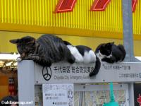 秋葉原電気街口 案内板の上のネコ